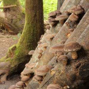 Forest-grown shiitake on logs Vancouver Island BC Canada