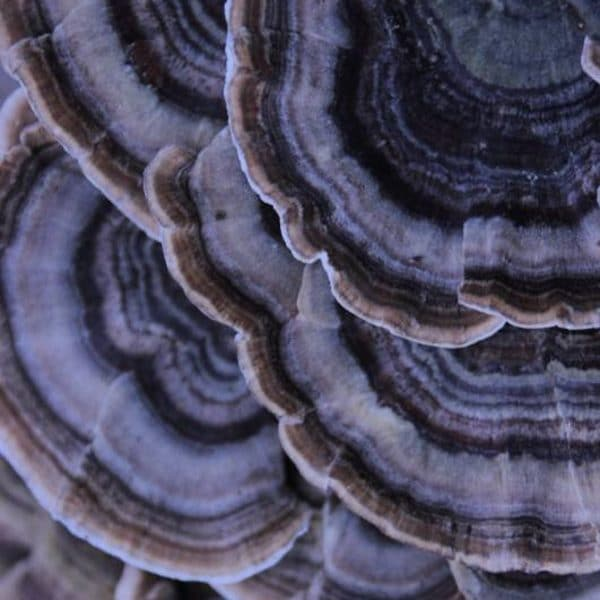 Turkey tail plug spawn