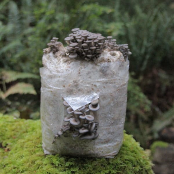 Blue oyster mushroom fruiting from grow kit Canada
