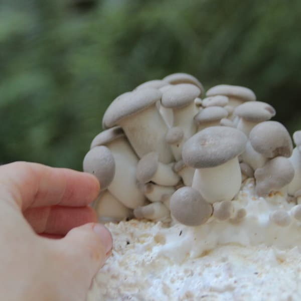 King Oysters emerging from mushroom grow kit Canada