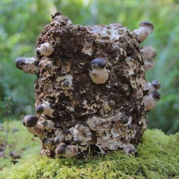 Young mushrooms form on shiitake grow kit